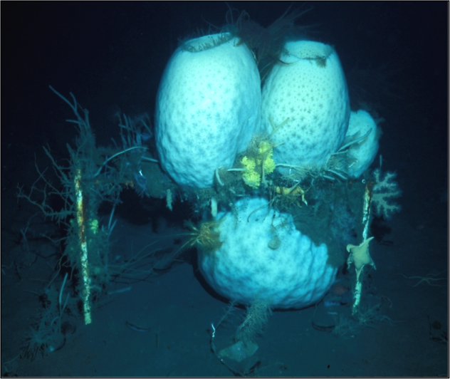 Antarctic glass sponges (Anoxycalyx joubini) growing on a Paul Dayton experimental substrate