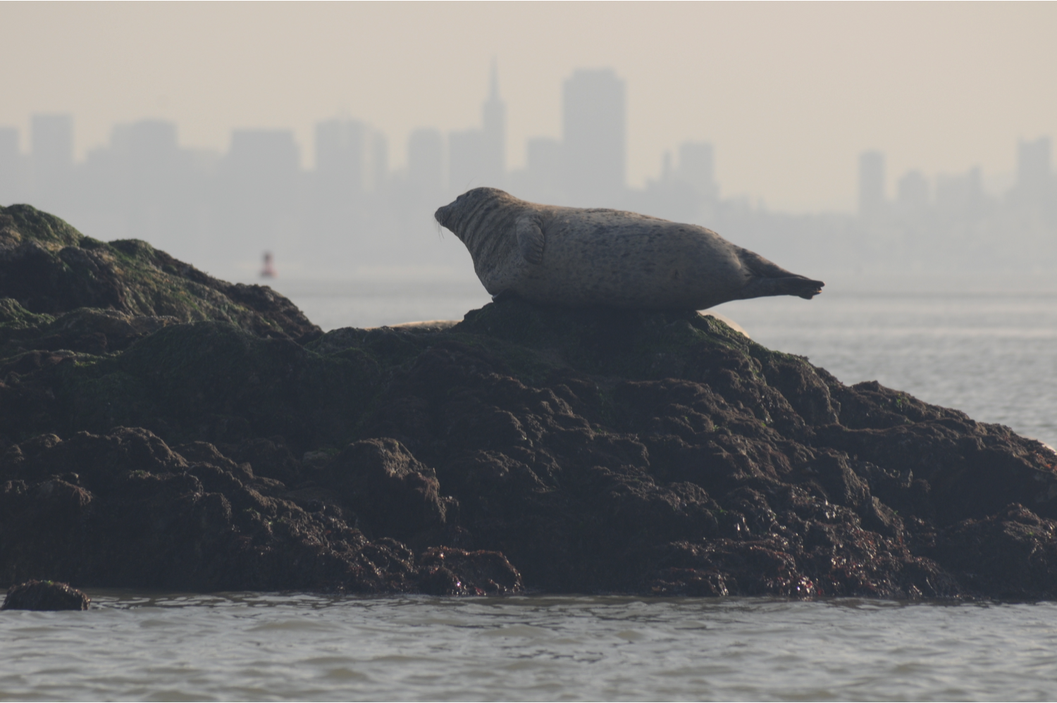 seal on rock in SFBay