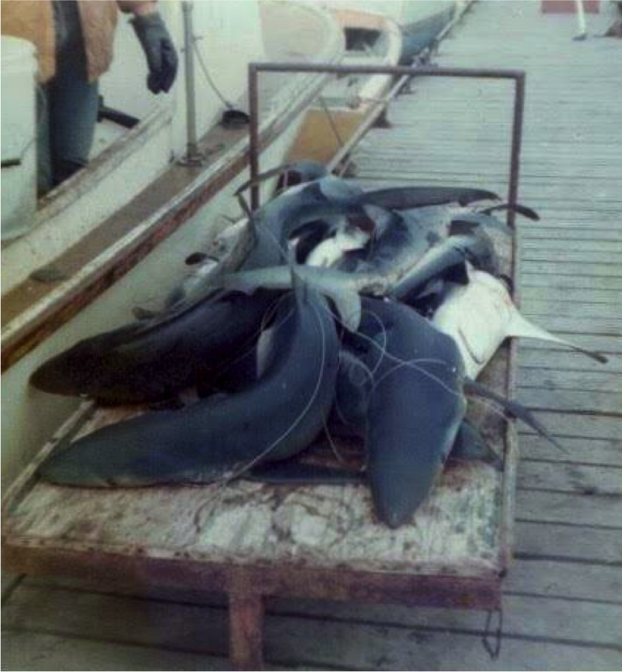 haul of blue sharks