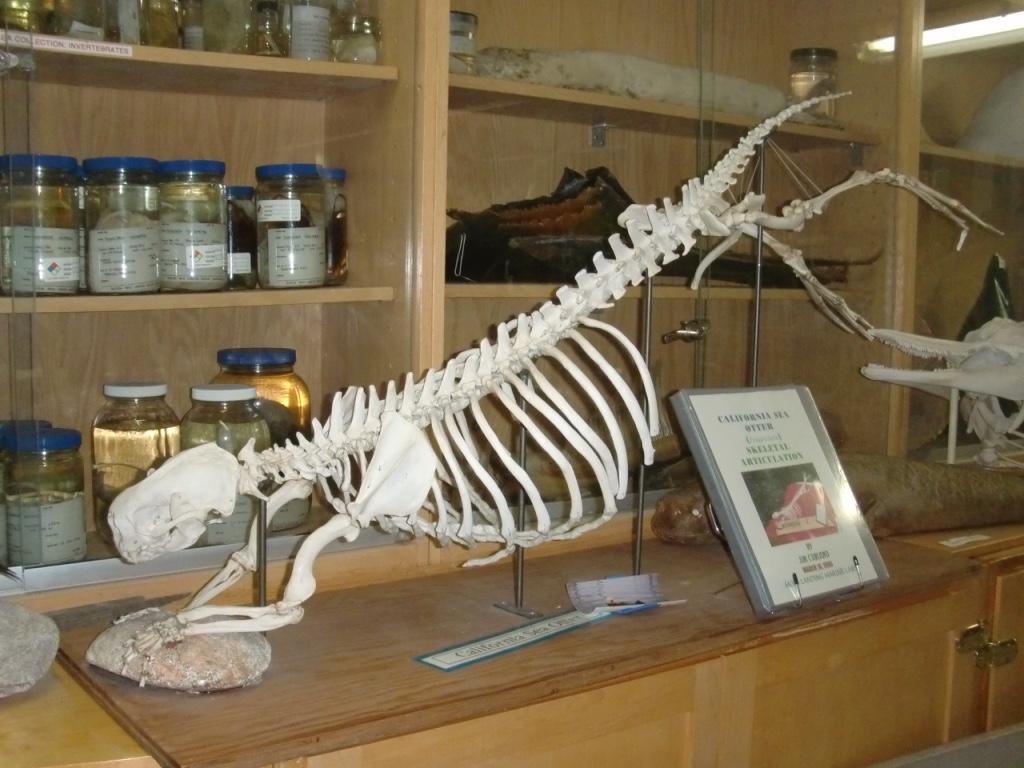 sea otter specimen thumb_CIMG0016_1024