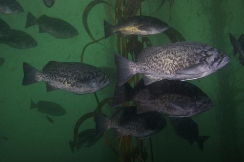 Blue rockfish_Scott Gabara