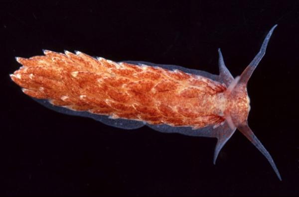 Cerberilla mosslandica photo by Gary McDonald