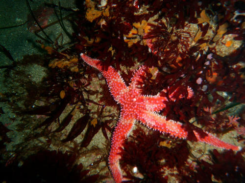 Rainbow Starfish_Photo by Scott Gabara