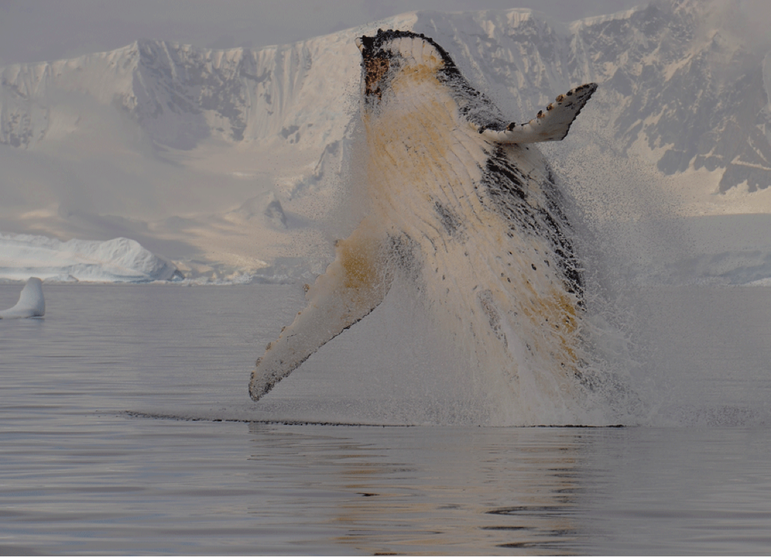 humpback whale_photo by Ari Friedlaender