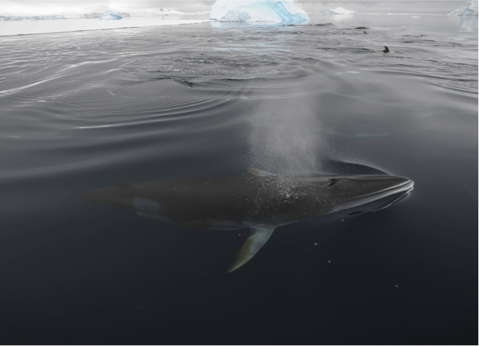 minke whale_photo by Ari Friedlaender