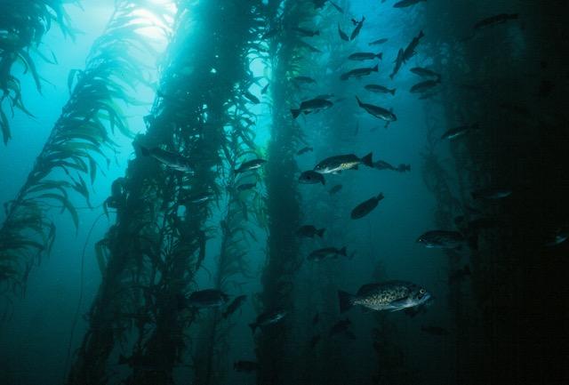 rockfish in kelp canopy_John Heine