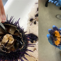 Sea Grant: Combating Urchin Barrens with Aquaculture