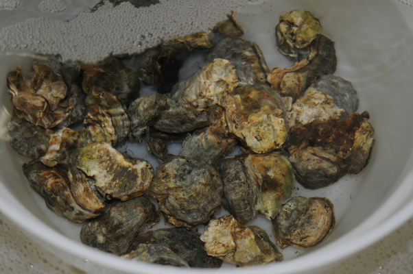 Olympia Oyster brood stock.