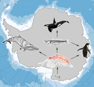 Predator-prey food web in Antarctica.