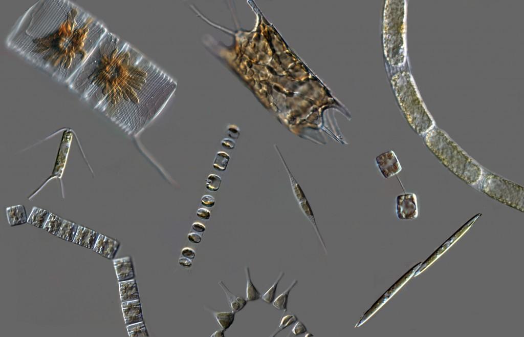 Diatom_diversity_micrographs copy2
