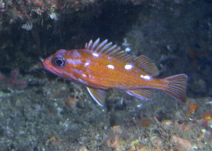 underwater photo of a rosy rockfish taken on a sub survey