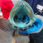 the inside of a lingcod's mouth