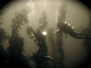 Kelp diving