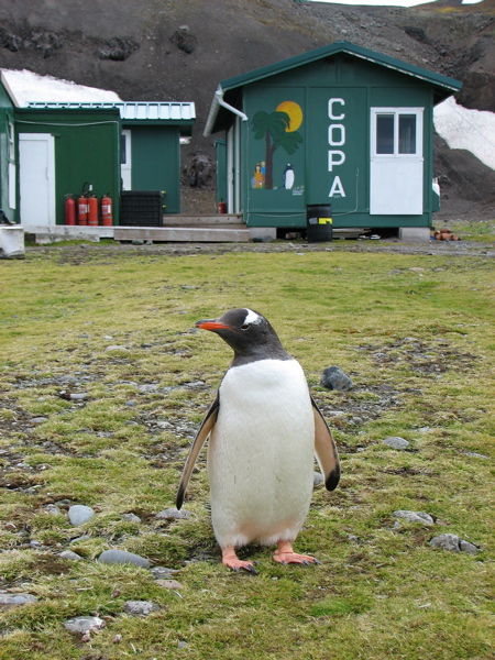 A gentoo penguin poses by the research station