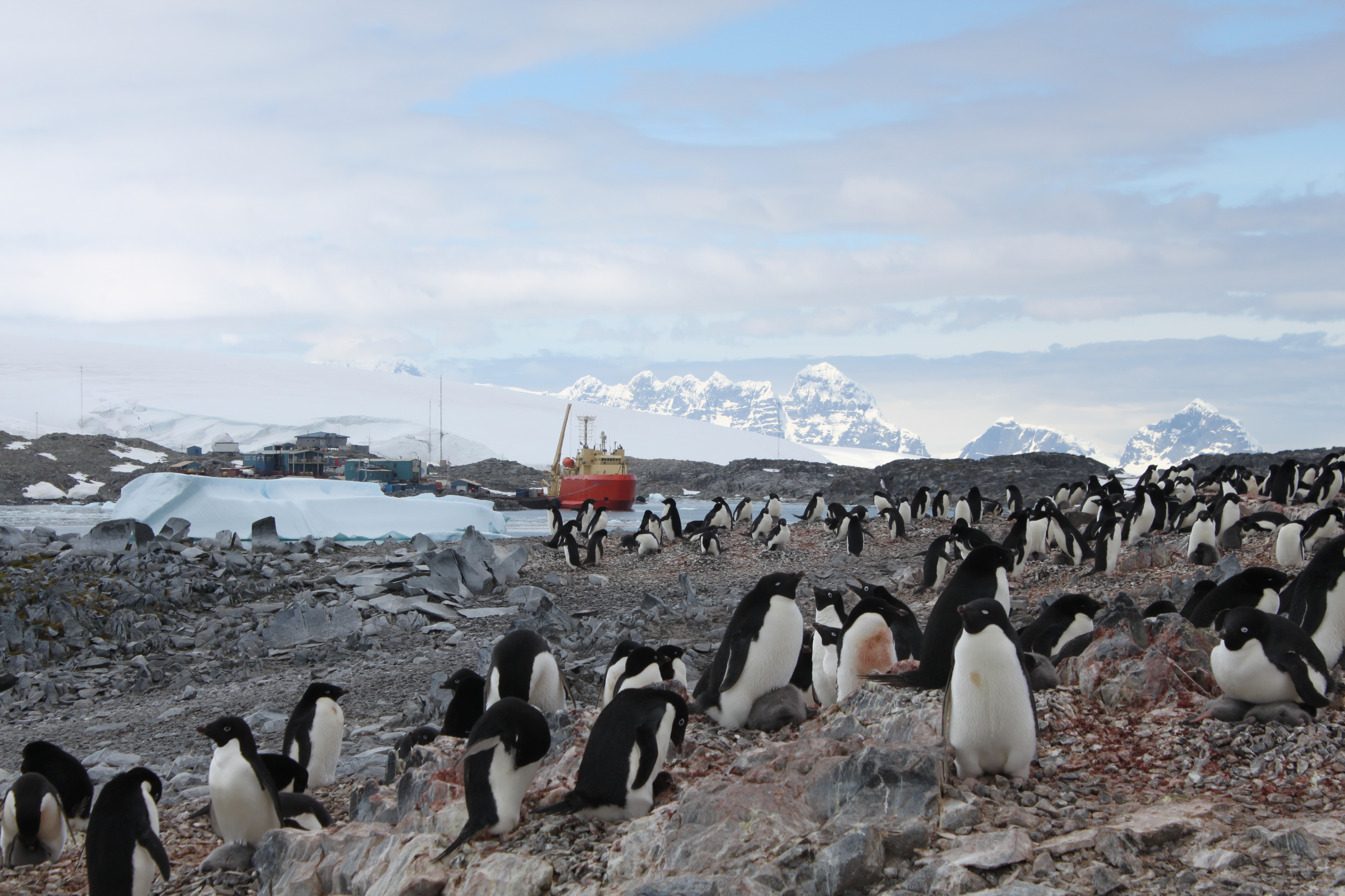 Adelie penguins at the Palmer Research Station.