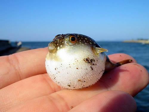 BabyPufferFish
