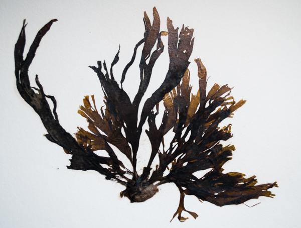Taonia lennebackerae, a brown algae commonly found south of Point Conception
