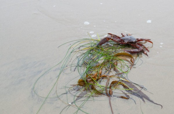 A kelp crab, Pugettia, tries to hide in the Phyllospadix wrack.