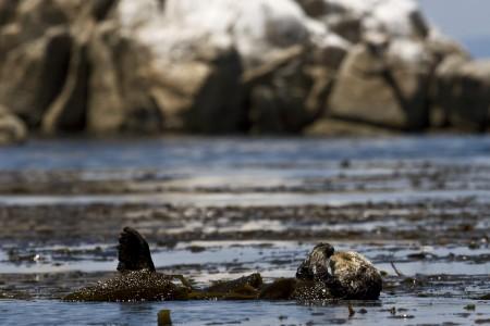 A resting sea otter. Photo by Nicole LaRoche.