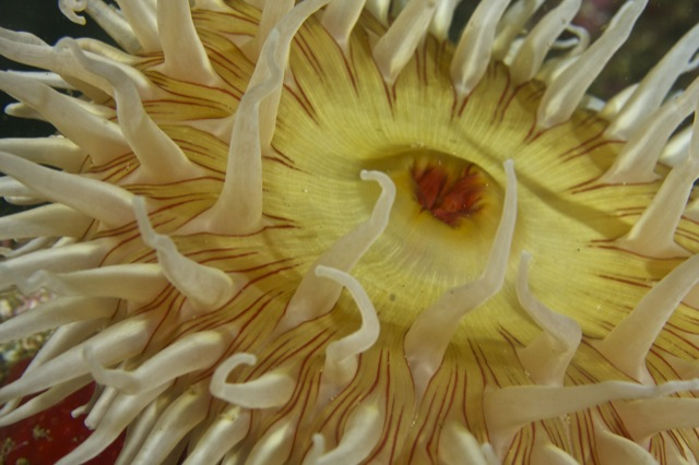 Fish-Eating Anemone