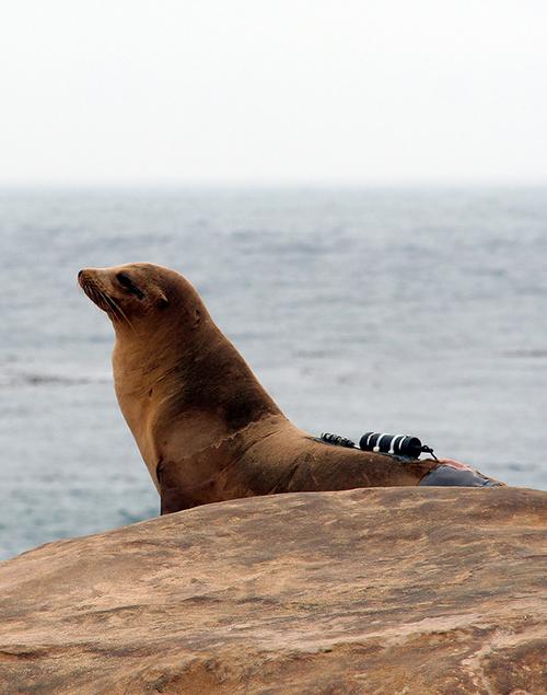 Sea lion with data logger, San Nicholas Island