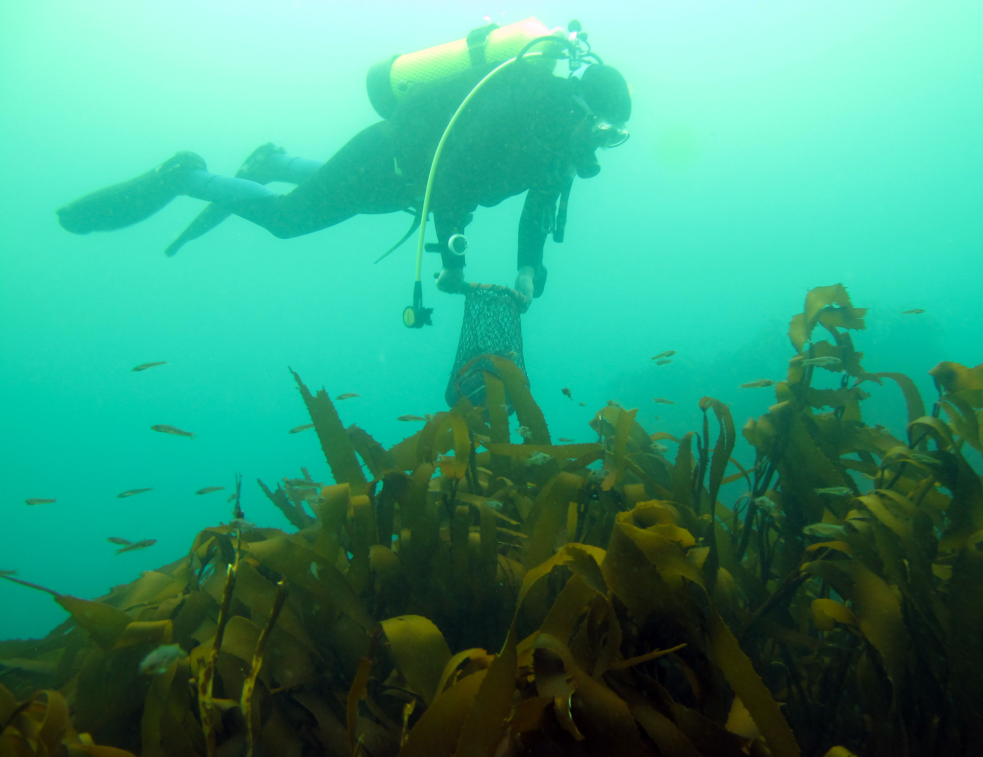 Our class helper, Arley, diving over Lessonia at Bahia Mansa, Osorno, Chile