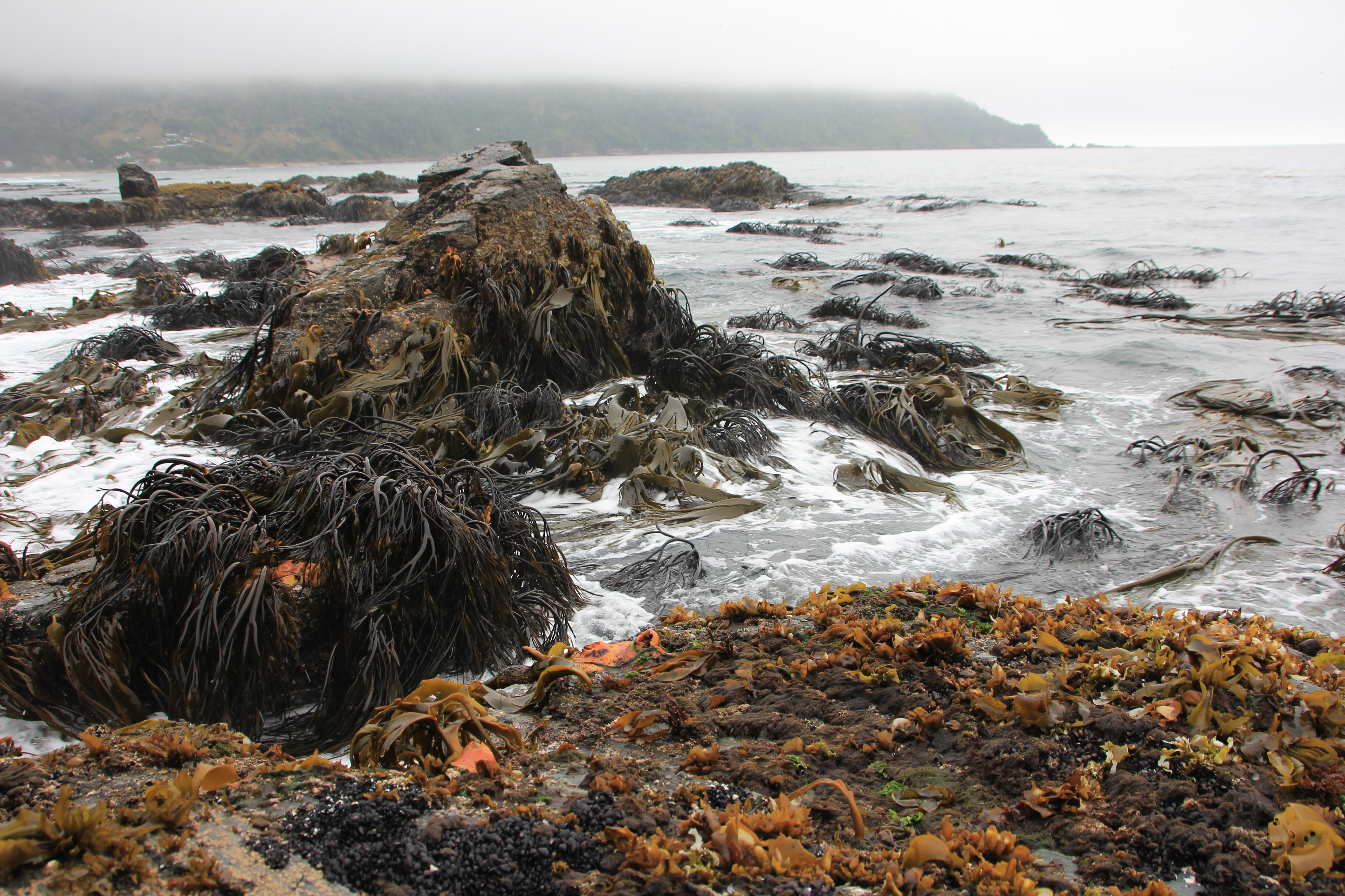 The intertidal on the exposed coast is dominated by the kelp Lessonia and the giant fucoid Durvillaea