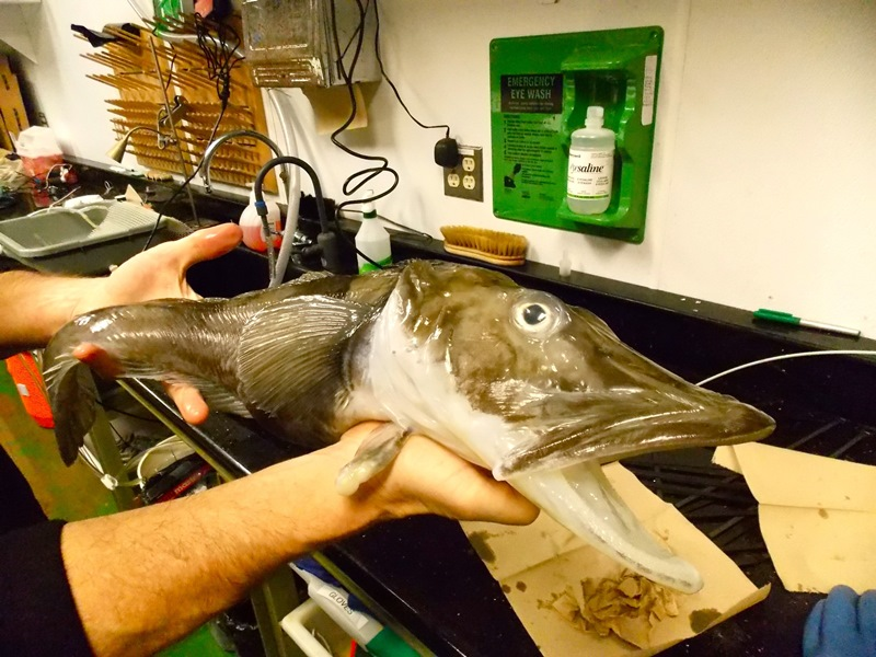 A gravid icefish in the lab at Palmer Station.