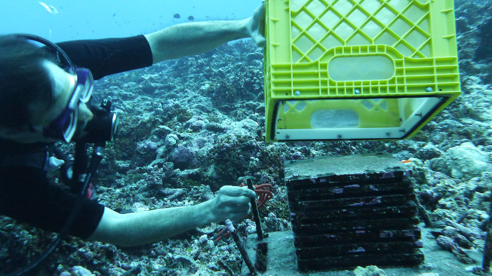 A diver readies the ARMS to bring to the surface and begin processing