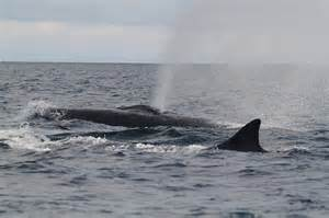 Fin whales: fin whales near the boat.