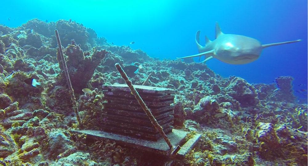 A lemon shark swims near the ARMS deployed in Tetiaroa, Society Islands, French Polynesia.