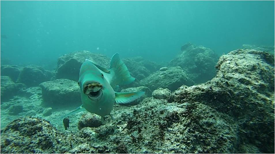 An azure parrotfish, Scarus compressus, swimming by the camera. Note the rockin' algal mustache.