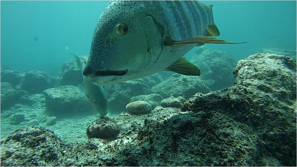 It wasn't just herbivores that swam by, as demonstrated by this barred pargo (snapper), Hoplopagrus guentherii. (But notice the bluechin parrotfish, Scarus ghobban, in the background?)