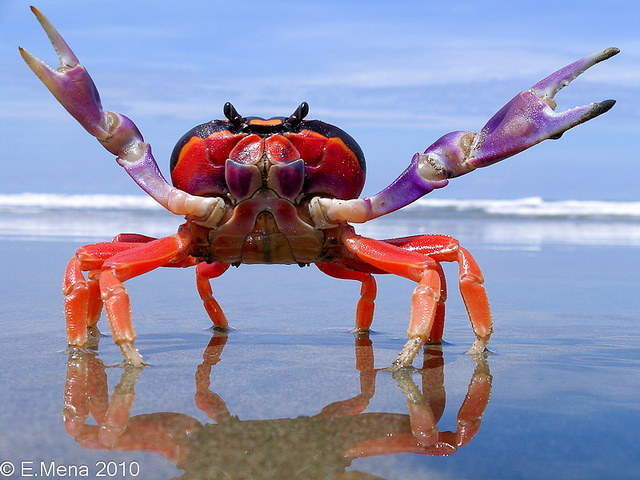 Species: Gecarcinus quadratus Common name: Halloween Crab. Photo by E. Mena