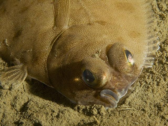 Species: Glyptocephalus cynoglossus. Common name: Witch Flounder. Photo by Kare Telnes