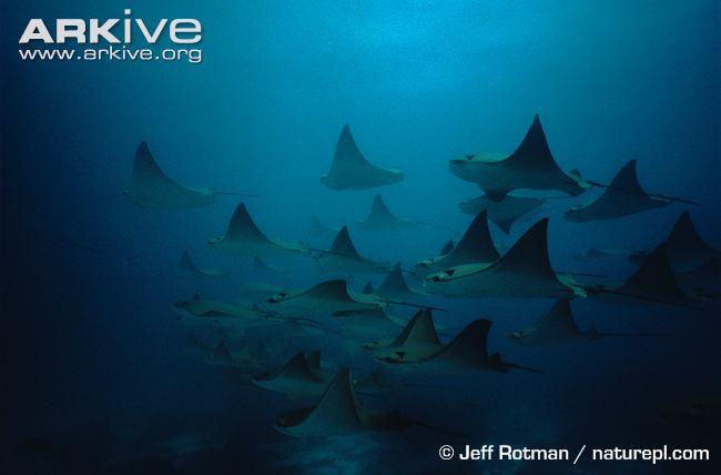 Species: Myliobatus californicus. Common name: Bat ray. Photo by Jeff Rotman