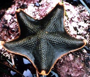 Species: Patiria miniata Common name: Bat Sea Star (Juvenile). Photo by DaveCowles