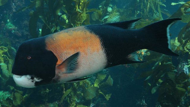 California sheephead (Semicossyphus pulcher) is a popular protogynous hermaphrodite that is the target of multiple fisheries. Size-selective harvesting has led to skewed gender ratios in some heavily exploited populations. Eventually I hope to apply the findings from my research to economically-valuable species like California sheephead. Photo by Monterey Bay Aquarium.