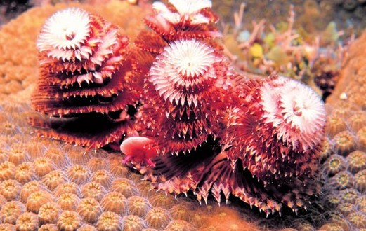 3-christmas-tree-worms-e1376422280604-521x330