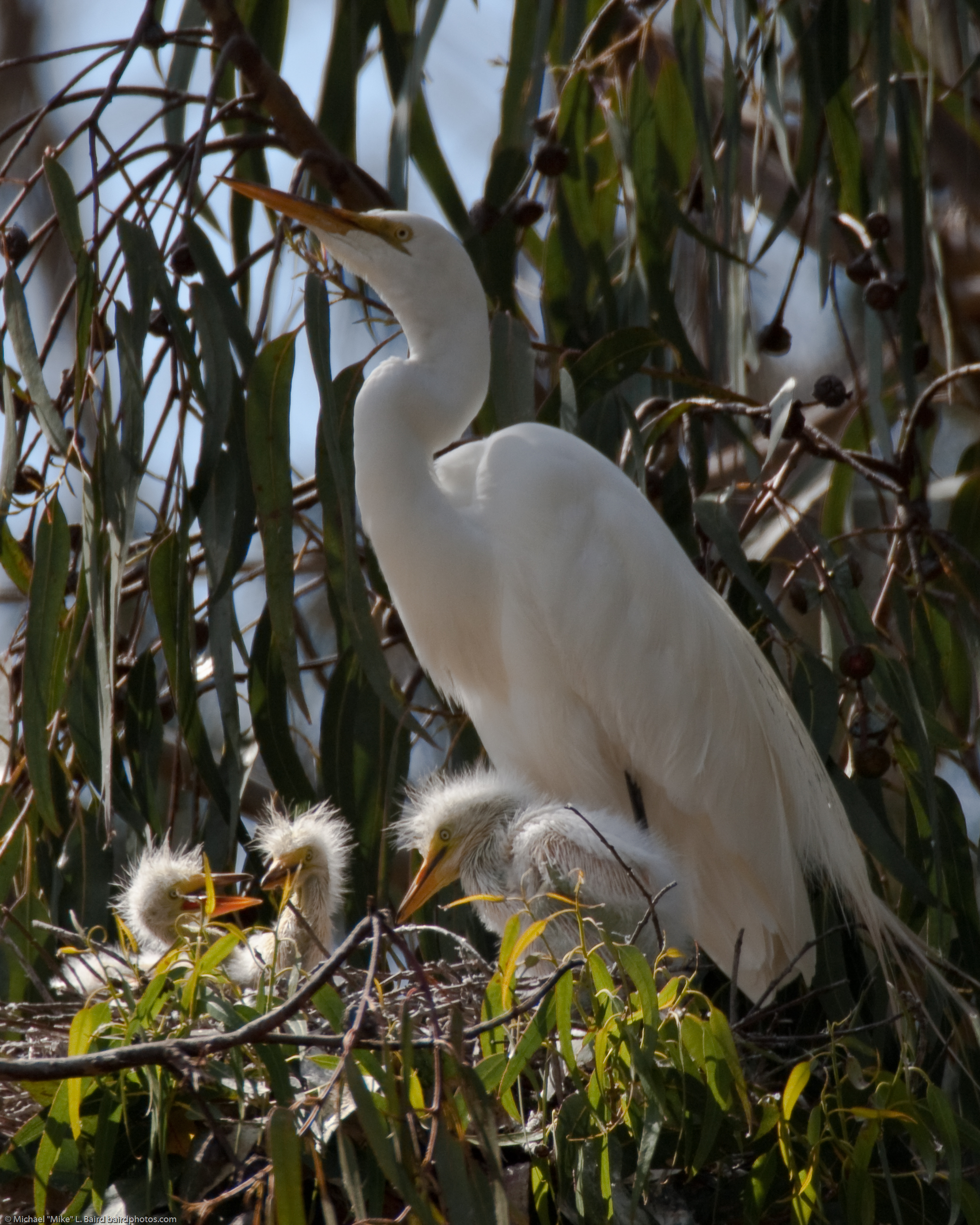 Great Egret (Ardea alba) nest with three chicks at the in the Mo
