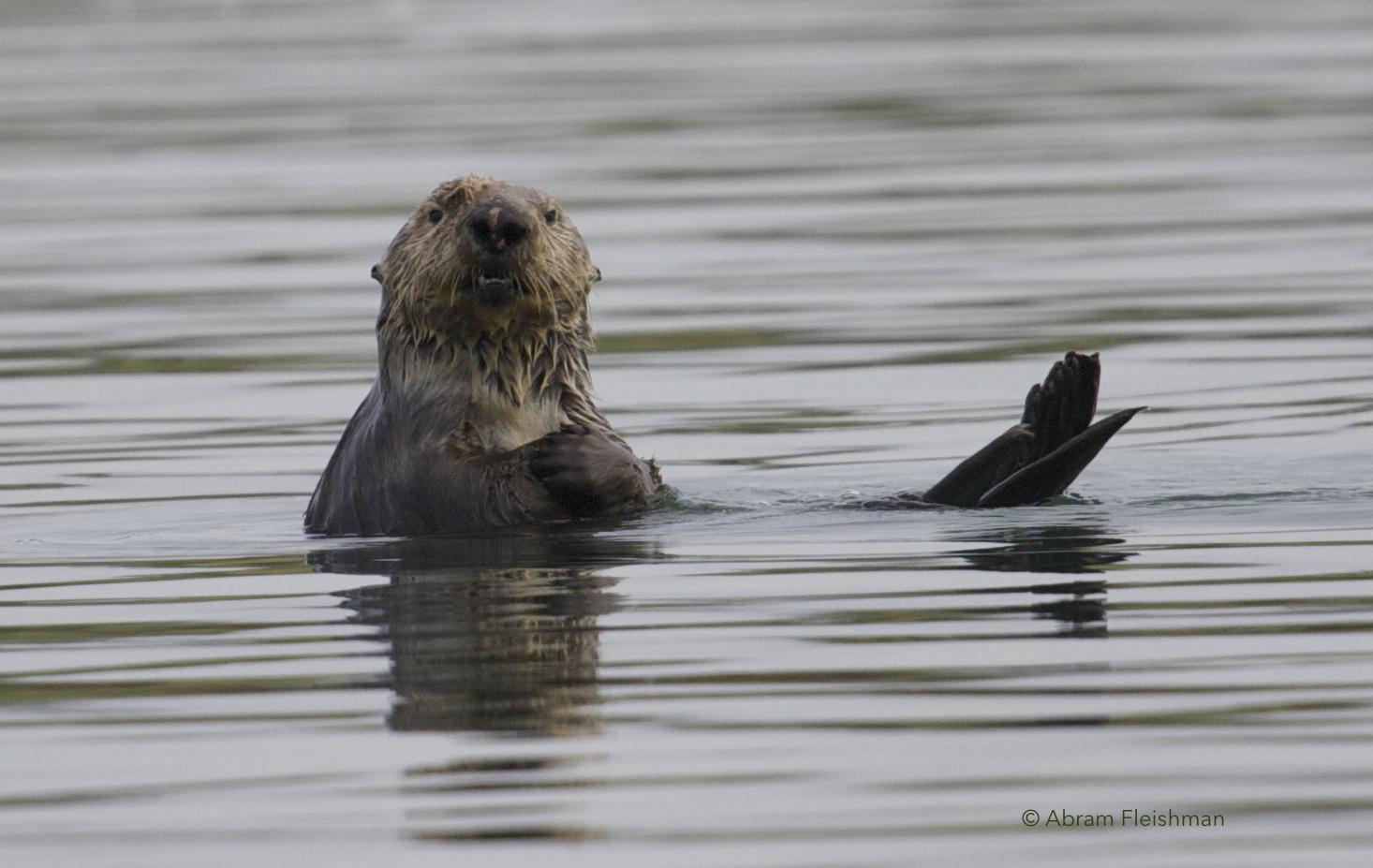 Abram_Sea Otter Photo