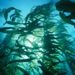 MLML's Ross Clark writes about the loss of our kelp forests for the Santa Cruz Sentinel
