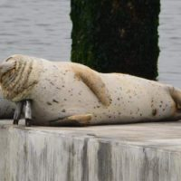 MLML Director Jim Harvey provides insight for floating Harbor Seal haul out site at Alameda Point, CA
