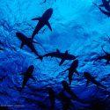 Pacific Shark Research Center at Sharktoberfest