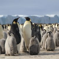 Professor Gitte McDonald featured in National Geographic video about emperor penguins