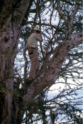 Dr. Nybakken in tree collecting orchids; Punta de Mita, Nayarit, Mexico; 26 Jan 1975. Photo by Gary McDonald.