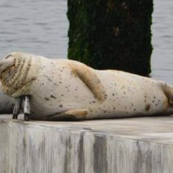 8-11_harbor_seals_2
