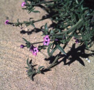 <i> Gilia tenuiflora arenaria </i>